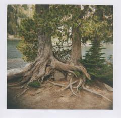 Whitebark pine 5, Chimney Lake, Eagle Cap Wilderness 2016 (Sara J. Lynch) Tags: sara j lynch eagle cap wilderness wallowas eastern oregon white bark pine trees tree old twisted chimney lake holga 120n film francis bowman trail
