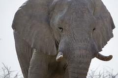 Etosha - Namibia (wietsej) Tags: etosha namibia elephant sony rx10m3 rx10 iii rx10iii