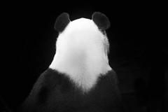 I've got your back Bai Yun (Rita Petita) Tags: baiyun sandiegozoo sandiego california china panda giantpanda specanimal specanimalphotooftheday