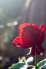ILCE-6000-20161129-06547 // Carl Zeiss Jena Tessar 50mm 1:2.8 (Otattemita) Tags: 50mmf28 carlzeissjena carlzeissjenatessar50mmf28 florafauna flower nature plant wildlife carlzeissjenatessar50mm128 sonyilce6000 ilce6000 sony 50mm