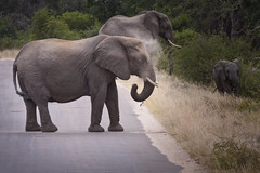 Dust bath (Sheldrickfalls) Tags: elephant elephants elephantherd olifants olifant lowersabie lowersabiecamp krugernationalpark kruger krugerpark mpumalanga southafrica