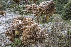 Erster Frost - 0014_Web (berni.radke) Tags: ersterfrost frost raureif wassertropfen rime eisblumen eiskristalle iceflowers icecrystals escarcha