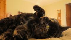 Alice (2) (hedgehoggarden1) Tags: norfolk eastanglia uk pet cat animal posing canon canonpowershotsx50hs bridgecamera alice cats tortoishelle