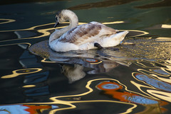 DSC09662 (vintage vix - Everything is a miracle) Tags: reflections cygnet muteswan