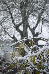 Winter Wisteria, Surrey BC (ScarletBlack) Tags: snow wisteria vine snowonbranches