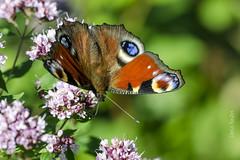 Dinner (Darius Baužys) Tags: macro nature dinner butterfly moth peacock io aglais inachis spungė
