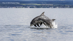 _7D29584 (Charlie S Phillips) Tags: sea marine dolphin conservation wdc charlie dolphins whale moray firth bottlenose tursiops truncatus
