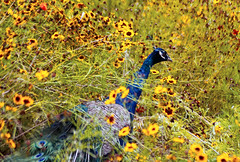 lost among the flowers (kevin towler) Tags: bird peacock