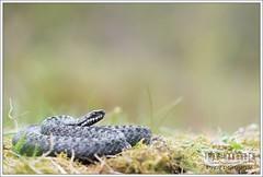 Vipera berus - European Adder (Thor Hakonsen) Tags: viper adder vipera viperaberus huggorm hoggorm europaenadder