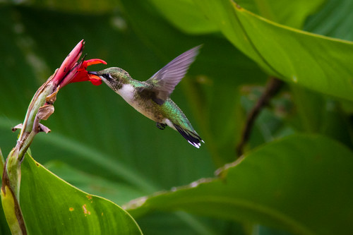 Ruby-throated Hummingbird & Canna Lily