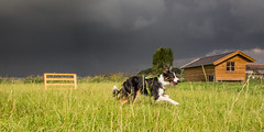 Milou (Bas Bloemsaat) Tags: rural sheepdog thunderstorm bordercollie