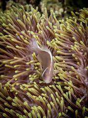 Skunk (Jose Fontenla Photography) Tags: ocean life blue sea fish water animal coral marine ray underwater nemo turtle dive shrimp scuba diving clam lizard clownfish anemone malaysia spotted nudibranch eel tuna reef perhentian moray mollusc jenkins trevally
