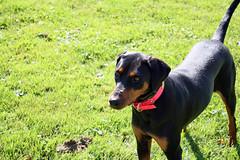 IMG_2742fixed (BenedekToth) Tags: park dog canon rebel cleveland hound kutya xsi metroparks transylvanianhound erdélyikopó erdelyikopo