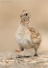 Pintail sandgrouse chick () Tags: birds canon desert bin chick breeding sultan qatar in pintail  potographers   sandgrouse potographer    binsultan lesnafi