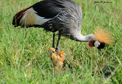 JHG_8509-b Grey Crowned Cranes with newborn chicks. Masai Mara, Kenya. (GavinKenya) Tags: africa wild nature animal june john mammal photography gavin photographer kenya african wildlife july grand safari dk naturephotography kenyasafari africansafari 2015 safaris africanwildlife africasafari johngavin wildlifephotography kenyaafrica kenyawildlife dkgrandsafaris africa2015 safari2015 johnhgavin