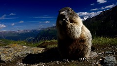 int_023628 (Witte_swe) Tags: mountains alps portraits austria landscapes europe feeding reserve mammals rodents wwe marmots vertebrates behaviour a wwgl grzegorzlesniewski
