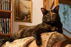 Two faces cat (ymorenogut) Tags: sisi animal animals black cat felina feline gata gatita gatito gato hairy mascota negra peluda pet silln sleeping sofa ojos verdes dos caras two faces green eyes