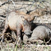 In Djoudj national park -  a family of warthogs: time to play