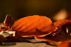 Autum leaves (lg-photographic) Tags: wood sun color macro tree fall leave nature colors leaves weather forest germany nikon warm mood moody autum outdoor laub herbst natur makro sonne wald farbe baum worpswede wetter stimmung farben drausen d5200