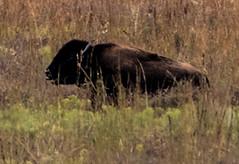 bison-1 (jimlustgarten) Tags: jim prairie bison lustgarten paynes