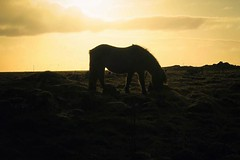 Icelandic horse #silhouette #icelandsecret #horse #horses... (vidirb) Tags: light sunset horses horse sun silhouette canon icelandichorse yellowsky g7x uploaded:by=flickstagram instahorse horsesofinstagram icelandsecret canong7x mystopover instagram:photo=11197741686075995754000233