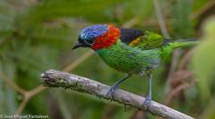9-LIFER!!Comienza el desfile del carnaval de Brasil!! Seis días intensos que se pueden resumir así. Dos días volando, dos días de ciencia y dos DIAS EN LA VERDADERA UNIVERSIDAD DE LA VIDA! 15,000 fotos en las tarjetas!!! (Cimarrón Mayor 15,000.000. VISITAS GRACIAS) Tags: naturaleza bird brasil fauna libertad pássaro curitiba ave parana oiseau libre vogel montañas uccello panta ptak fågel lintu птица dominicano ptica πουλί птах saíramilitar ptáček ordenpasseriformes libertee cimarrónmayor familiathraupidae canoneos7dmarkii 7dmarkii josémiguelpantaleón canon7dmarkii telefoto700mm génerotangara lugardecapturamorretes tángaradecuellorojo tangaramilitar tangaracuellocastaño nombrecientificotángaracyanocephala statusesteysurdebrasil paraguayynortedeargentina nombreinglesredneckedtanager