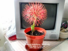 Scadoxus multiflorus 'Blood Lily' fully open in kitchen 25-07-2015 001 (D@viD_2.011) Tags: bloodlily 2015 scadoxus scadoxusmultiflorus mutiflorus