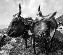Two Cows (jibbajambs) Tags: italy white black alps animals sisters italia cows workshop montagna lombardia animali valtellina 500px albaredopersanmarco ifttt