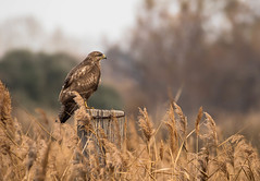 Common Buzzard 2 (dave_poth) Tags: