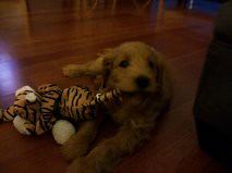this-is-sadie--shes-one-of-ginger-and-chewys-girls-_7161253063_o