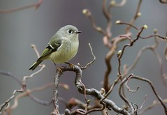 Ruby-crowned Kinglet (Mary Sonis) Tags: walking harry stick kinglet lauder rubycrowned