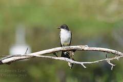 Eastern Kingbirds - Tyrannus tyrannus (jessica.rohrbacher) Tags: tyrannus eastern kingbird avian bird tyrannidae calgary alberta canada fledgling