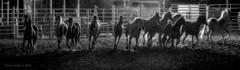Lightning Dance!!     ...HFF! (jackalope22) Tags: bw rodeo horses light lightning