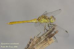 Southern Darter - Sympetrum meridionale (Selys, 1841) ( BlezSP) Tags: southerndarter sympetrummeridionale dragonfly odonata kyrgyzstan libellulidae redveineddarter sympetrumfonscolombii