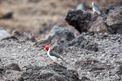 20151230112837.jpg (koalie) Tags: 2015wintervacation hi hawaii usa animal bird cardinal lava rock vacation oceanview unitedstates us