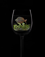 Fish in white wine. (andypf01) Tags: fish flickfriday wineglass unusual animal pet composite backlit strobe blackbackground guildofphotographers bronzebar redmatrix