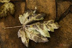 Fiori d'autunno (Ciervo Marcello) Tags: canon650d sigma1750 autunno profonditdicampo photography colour