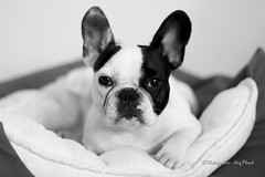 H-8 (Jrg Plesch) Tags: hund dog bully bulldogge franzsischebulldogge frenchbulldog schwarzweiss jrgplesch canon