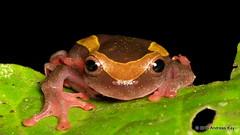 Upper Amazon treefrog, Dendropsophus bifurcus (Ecuador Megadiverso) Tags: andreaskay ecuador amazon amphibian anura dendropsophusbifurcus frog holavida hylidae rainforest upperamazontreefrog