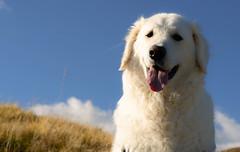 Mogli, our little mountain boy (balu51) Tags: wanderung hund kuvasz ungarischerhirtenhund weiss herbst himmel blau spternachmittag rckweg graubnden surselva september 2016 copyrightbybalu51