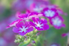 In the light (satochappy) Tags: flowers pink light macro tamron canon spring sydney australia nsw buds garden