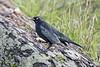 Brewer's Blackbird (David Badke) Tags: colwood bc bird