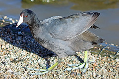 American Coot 16-0305-6784 (digitalmarbles) Tags: americancoot coot waterfowl fulicaamericana redeyes marshhen mudhen walking gravel toes lobed shield water shore nature wildlife animal bird birder birdphoto photography birdphotography wildlifephotography reifel sanctuary reifelsanctuary deltabc bc lowermainland britishcolumbia canada canoneosrebelt5 canon
