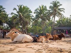 Agonda Beach (TeunJanssen) Tags: beach agonda goa india backpacking travel olympus ocean traveling omdem10 omd palm palmtrees cows cow chilling 25mm