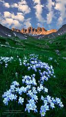 Blooming (Mengzhonghua) Tags: americanbasin columbine wildflower colorado mountains summer hiking 4x4 drive