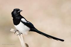 Magpie (Esmaeel Bagherian) Tags:        1395 2016 nikon nikond7000 tamron tamron150600 esmaeelbagherian magpie birdsofiran birdwatching