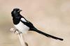 Magpie (Esmaeel Bagherian) Tags: زاغی پرندگانایران پرنده اسماعیلباقریان حیاتوحشایران پرندهنگری پرندگانهزارمسجد 1395 2016 nikon nikond7000 tamron tamron150600 esmaeelbagherian magpie birdsofiran birdwatching