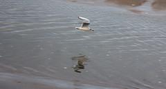 Freedom (herman hengelo) Tags: camperduin noordholland nederland meeuw seagull