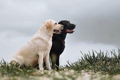 DOG (yanasalkova) Tags: labradors dog dogs macro eyes eye blue 365 project animals animal