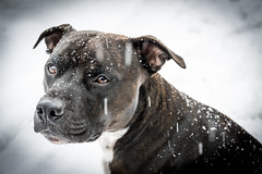 Rocco in Snow! (LeeBell83) Tags: absolutelyperrrfect d5300 explore ngc nikond5300 nikon naturallight portraiture dog staffie staffordshirebullterrier pet snow winter france frenchalps